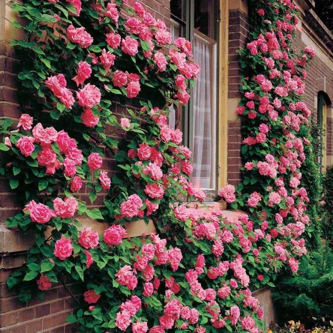 Ползучая роза