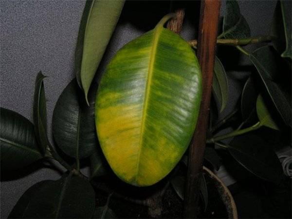 Почему у бенджамина желтеют и опадают листья