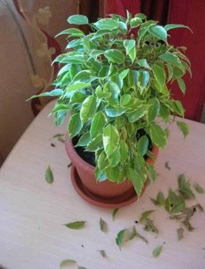 Опадают листья у бенжамина