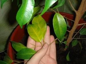 Сохнут листья у фикуса бенжамина