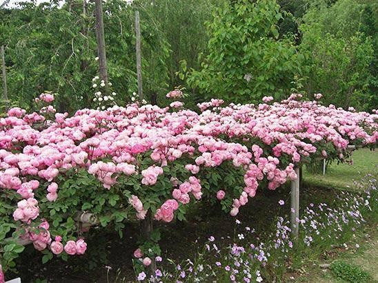 Типы роз