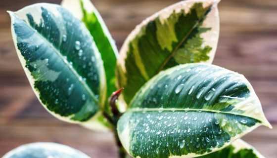 Можно ли дома выращивать фикус