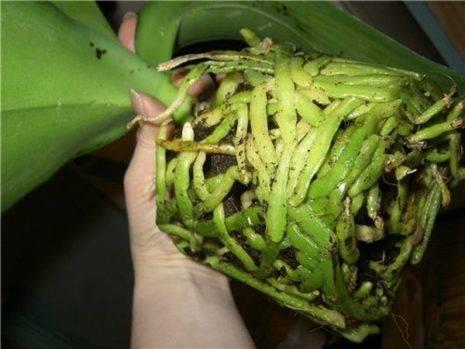 Сохнут воздушные корни у орхидеи что делать