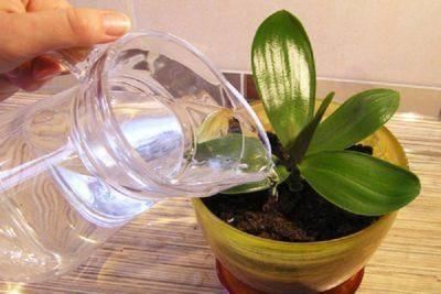 Фузариоз орхидей