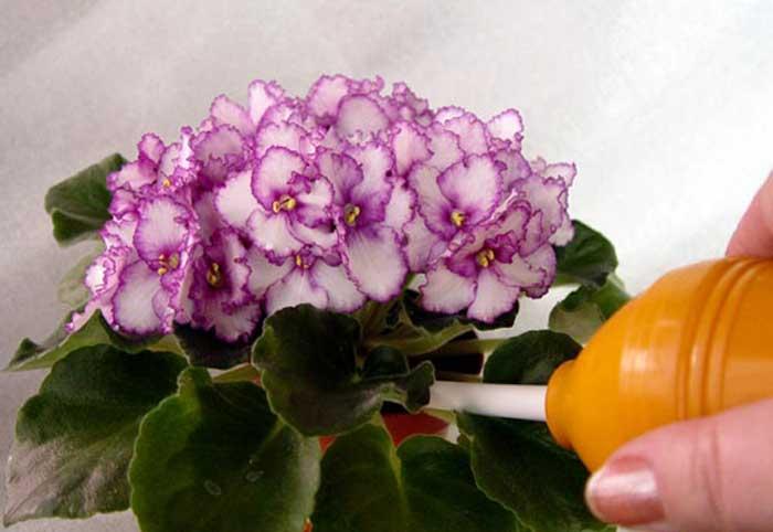 Удобрения для фиалок для цветения