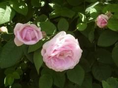 Рассада роз