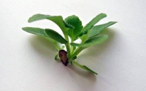Как вырастить фиалки из листочка
