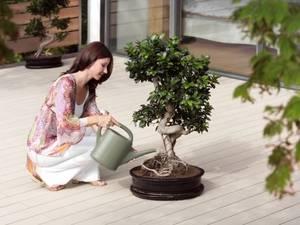 Когда лучше пересаживать денежное дерево