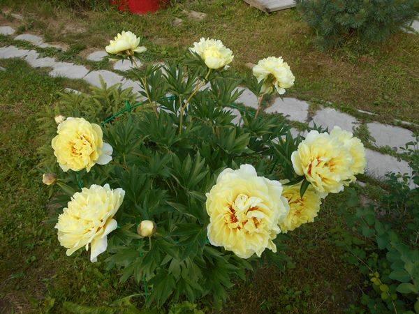 Желтый пион бартзелла