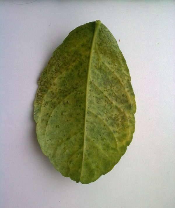 Комнатный лимон болезни и лечение