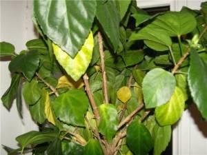 Почему желтеют листья у домашней розы