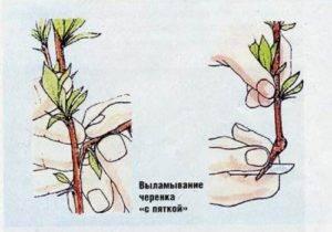 Черенкование роз в картофеле