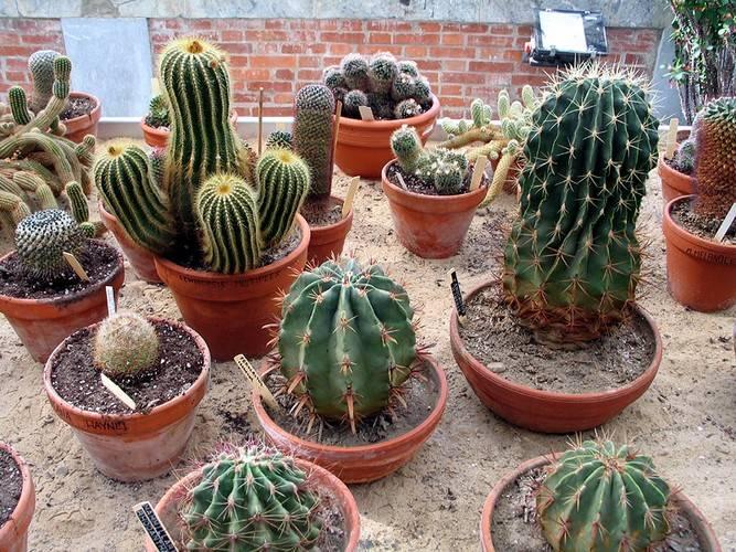 Размножение кактусов детками
