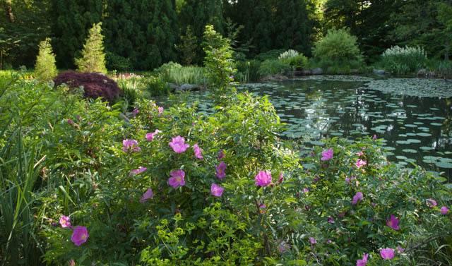 Роза ругоза ханса