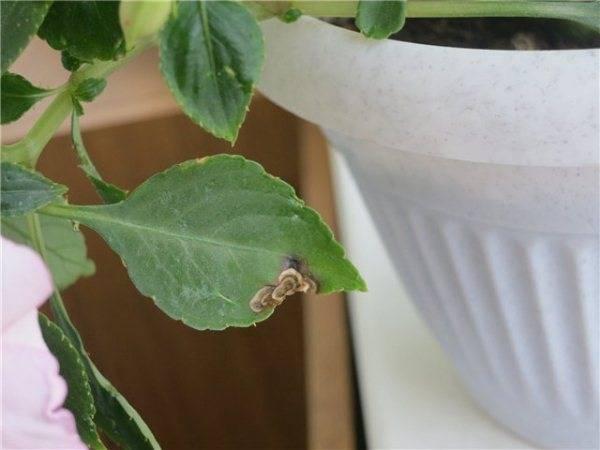 листья-бальзамина-пожелтели