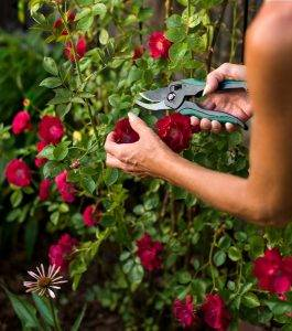 Кустарные розы