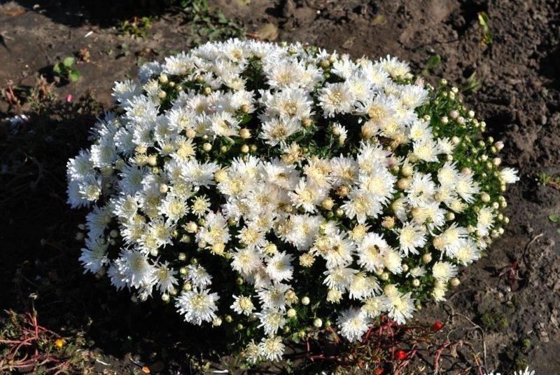 Хризантема шаровидная