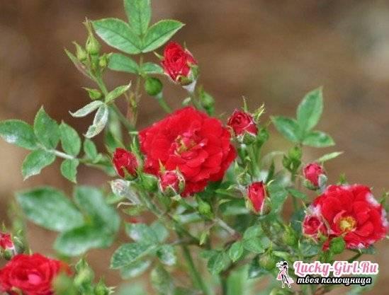 Роза парад микс уход в домашних условиях