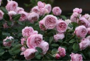 Английская парковая роза