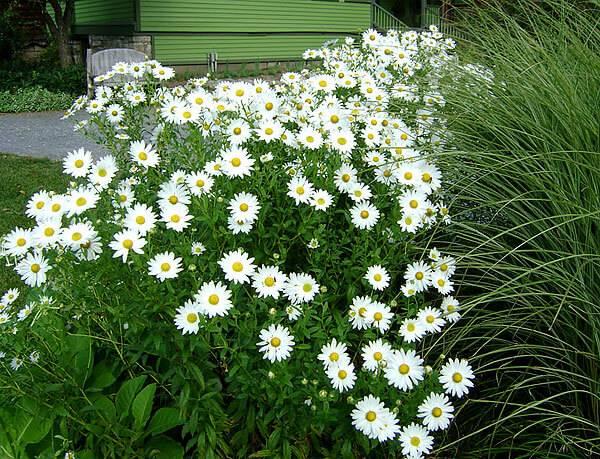 Когда цветут ромашки полевые