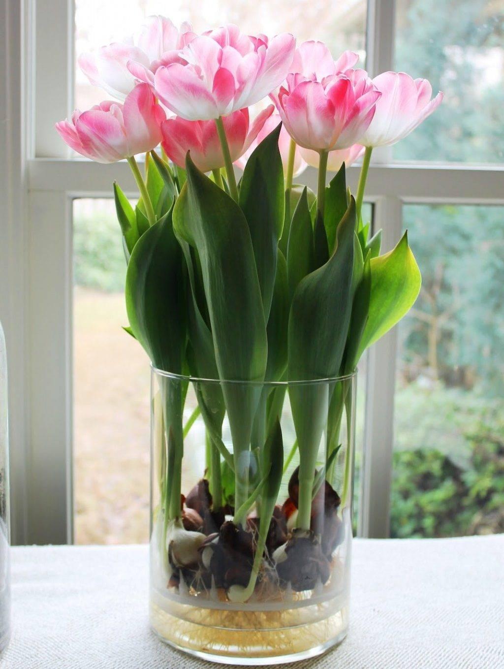 Как вырастить тюльпаны из семян