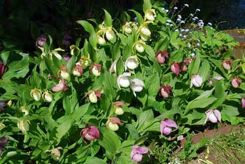 Орхидея садовая