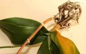 У орхидеи пожелтел стебель