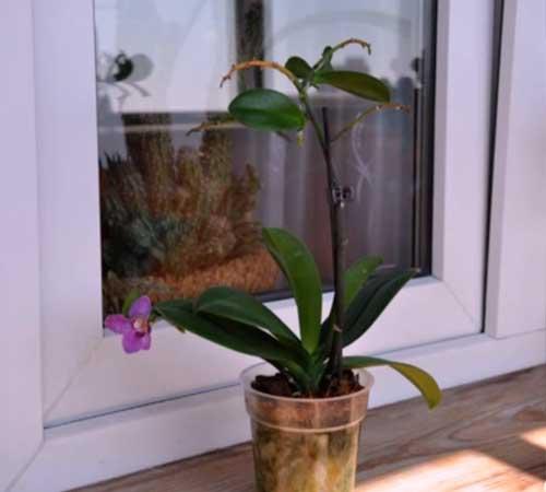 Как посадить детку орхидеи в домашних условиях