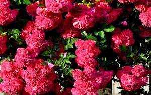 Каких цветов бывают розы