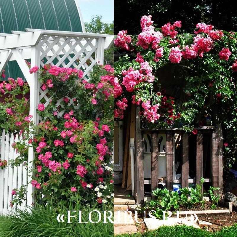 Лучшие плетистые розы