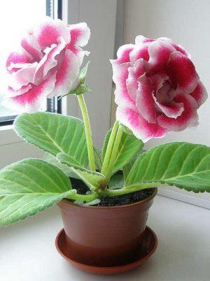 Укоренение глоксинии листом