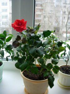 Как посадить розу из семян