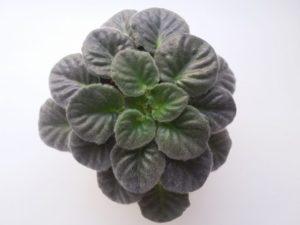 Комнатные растения фиалки уход за ними
