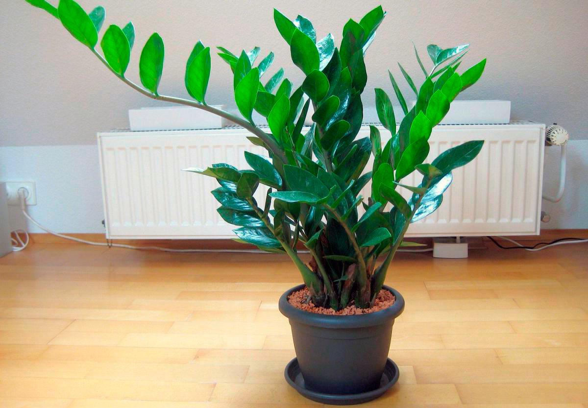 Замиокулькас размножение листом