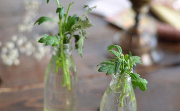 Как размножить хризантему из букета