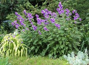 Колокольчики садовые многолетние