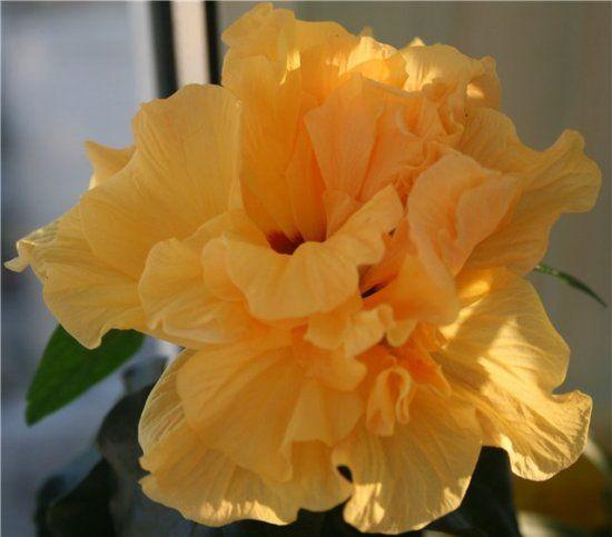 Цветок розан уход в домашних условиях
