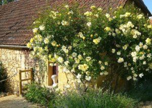 Плетистая роза голден шоверс