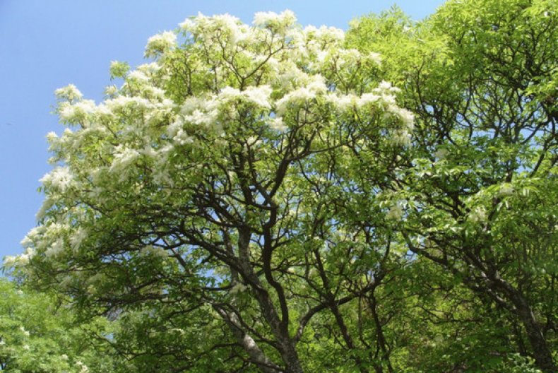 Дерево с белыми листьями