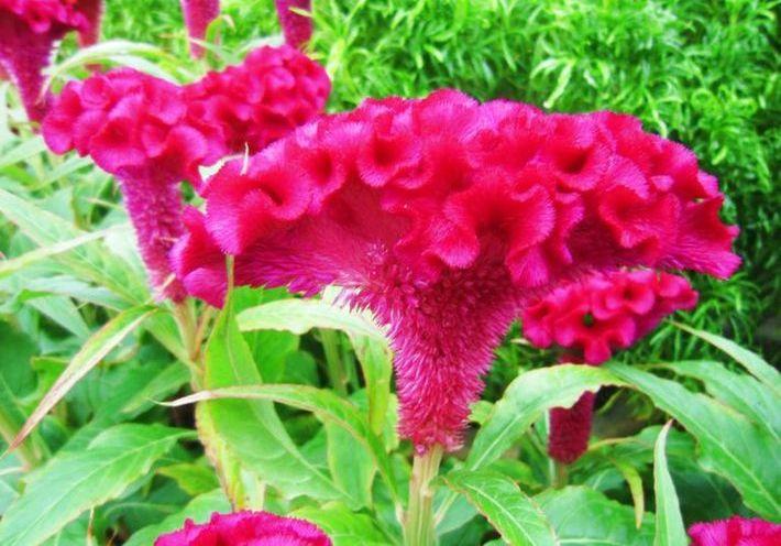 Гребешки цветы