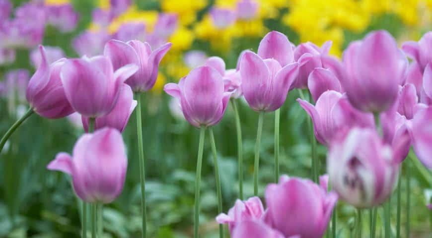 Когда сажать луковицы тюльпанов