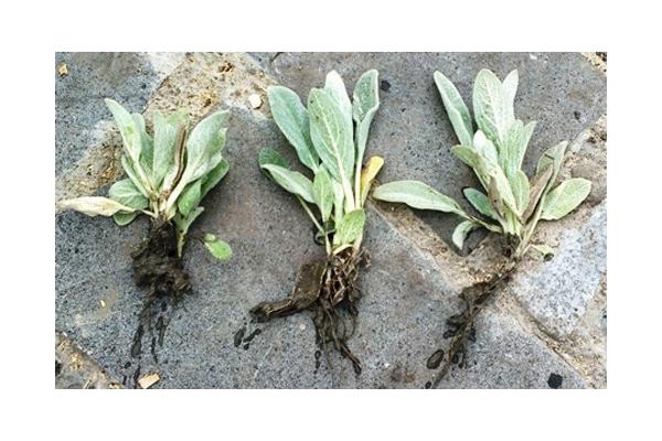 Чистец шерстистый или заячьи ушки: посадка и уход, выращивание из семян