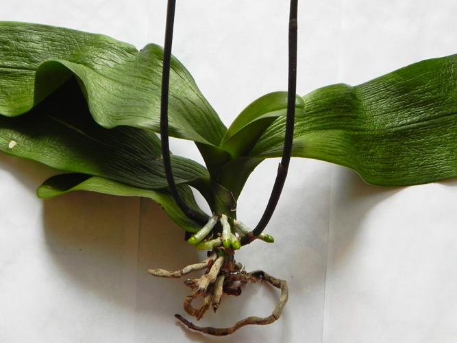 Как вырастить корни у орхидеи