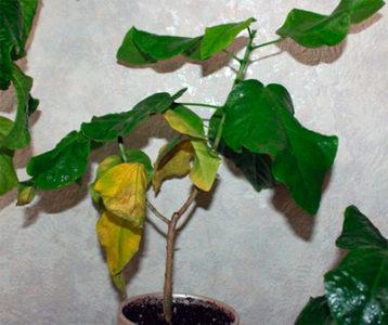Желтеют листья у гибискуса