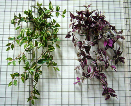 Ампельные растения для дома