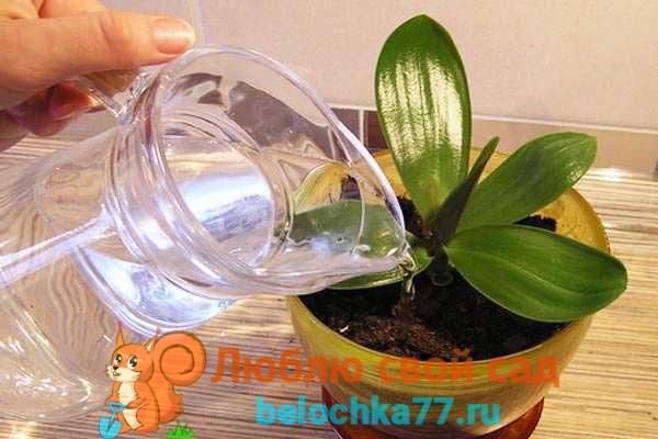 Пересадка цветущей орхидеи в домашних условиях