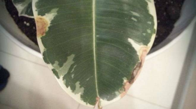 Белые точки на листьях фикуса