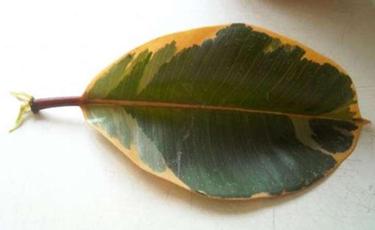 пожелтение листьев фикуса