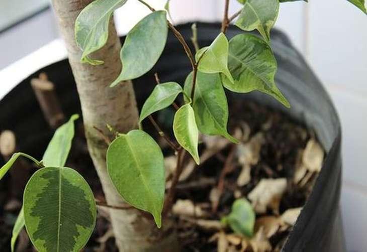 опадание листьев фикуса