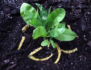 Удобрения из шкурки банана